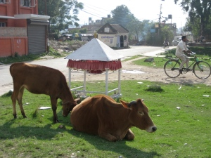Holy Cows hanging out in Patan